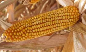 gatunki kukurydzy