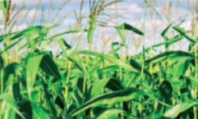 nawożenie dolistne kukurydzy