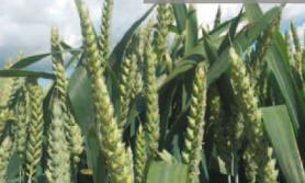 dobre odmiany pszenicy ozimej