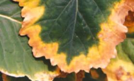nawożenie rzepaku jesienią