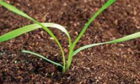 jesienne choroby zbóż