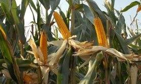 gleba pod kukurydzę