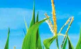 nawożenie kukurydzy
