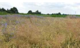 ochrona herbicydowa zbóż ozimych