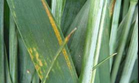 ochrona zbóż