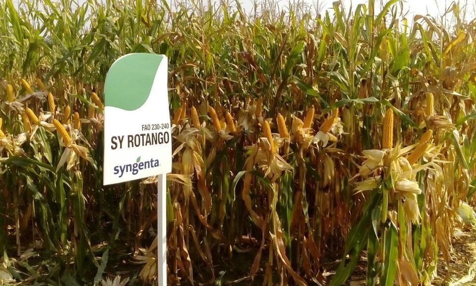odmiany kukurydzy