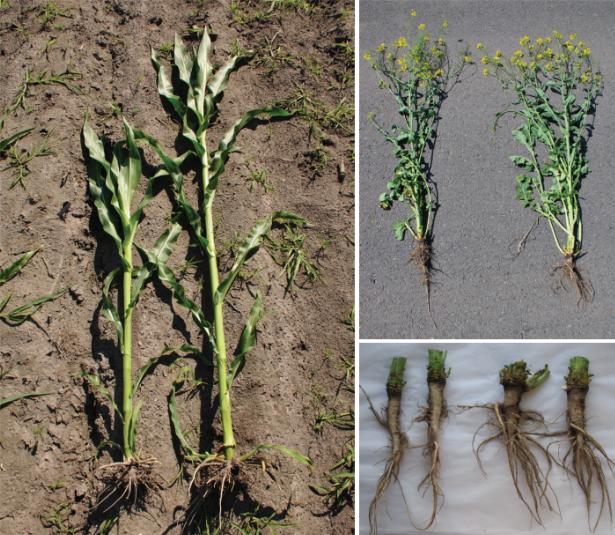 Stymulatory rozwoju roślin