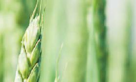nawożenie zbóż ozimych