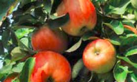 kolor jabłek