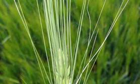 zaprawy dla zbóż