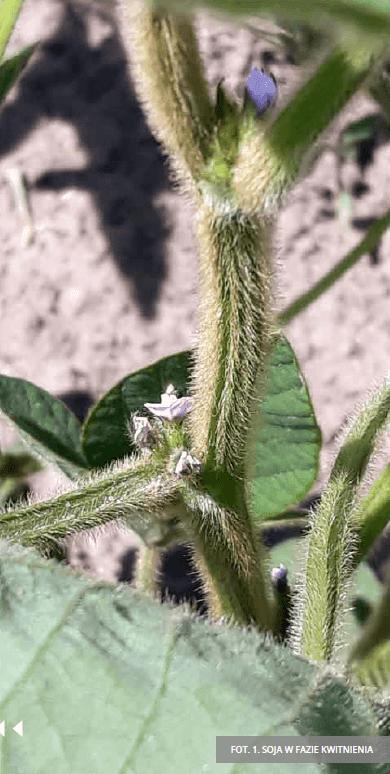 strączki 1-faza-kwitnienia