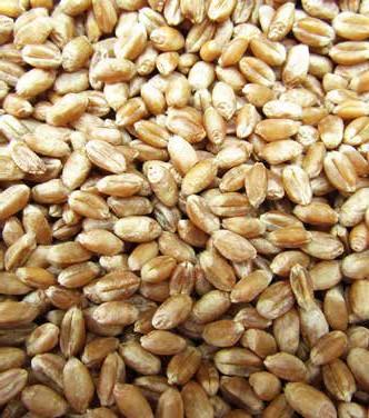 strategia-wyboru-odmiany-pszenicy-ozimej4