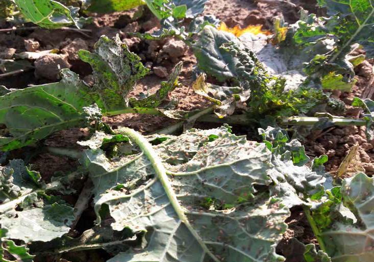 Nalot mszycy na plantacje rzepaku ozimego w październiku 2018 r.