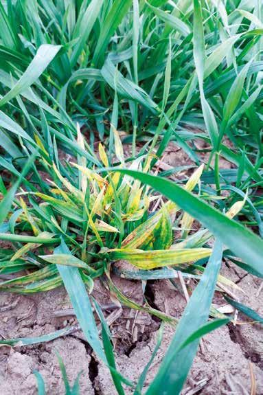 Widoczne pojedyncze rośliny nadmiernie krzewiące się.