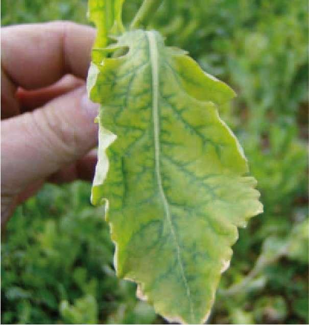 Objawy braku magnezu na starszych liściach