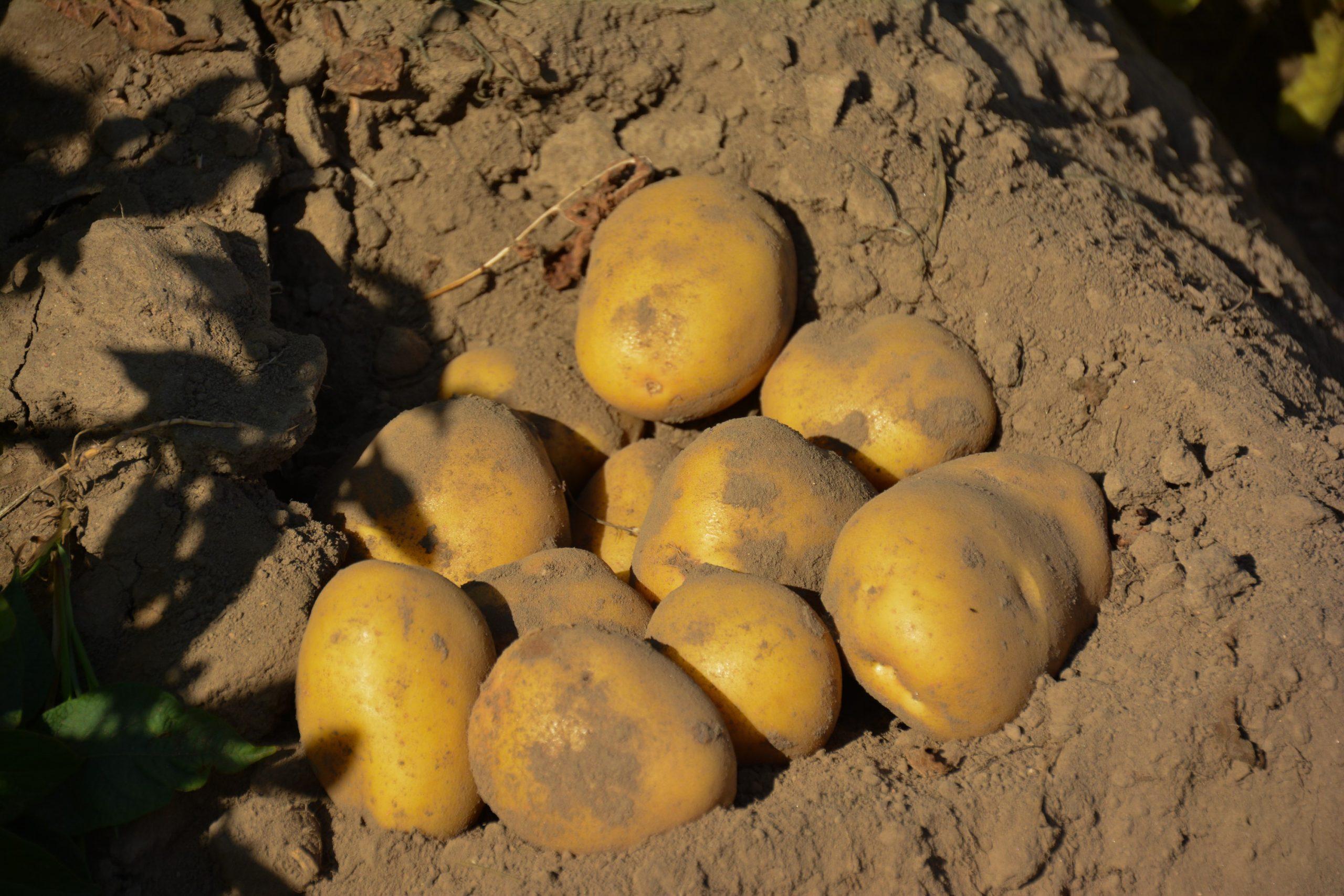ziemniaki po zastosowaniu technologii DSG