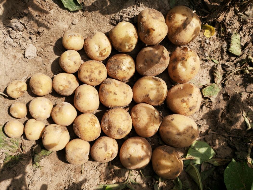 ziemniaki z technologią DSG
