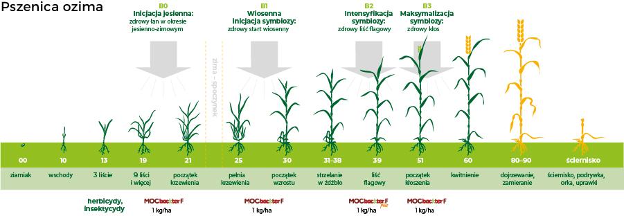 stosowanie MOCbackter w pszenicy ozimej