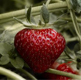 akademia uprawy truskawek