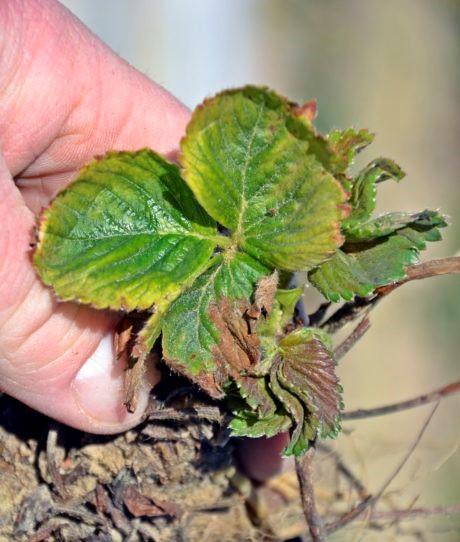 Roślina truskawki uszkodzona przez herbicyd