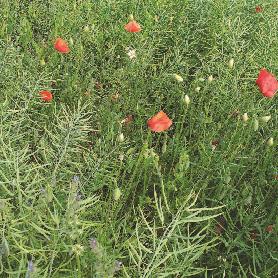 rzepak herbicydy